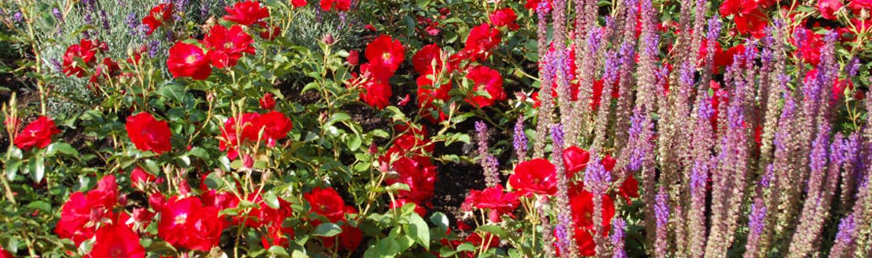 Begleitpflanzen zu Rosen