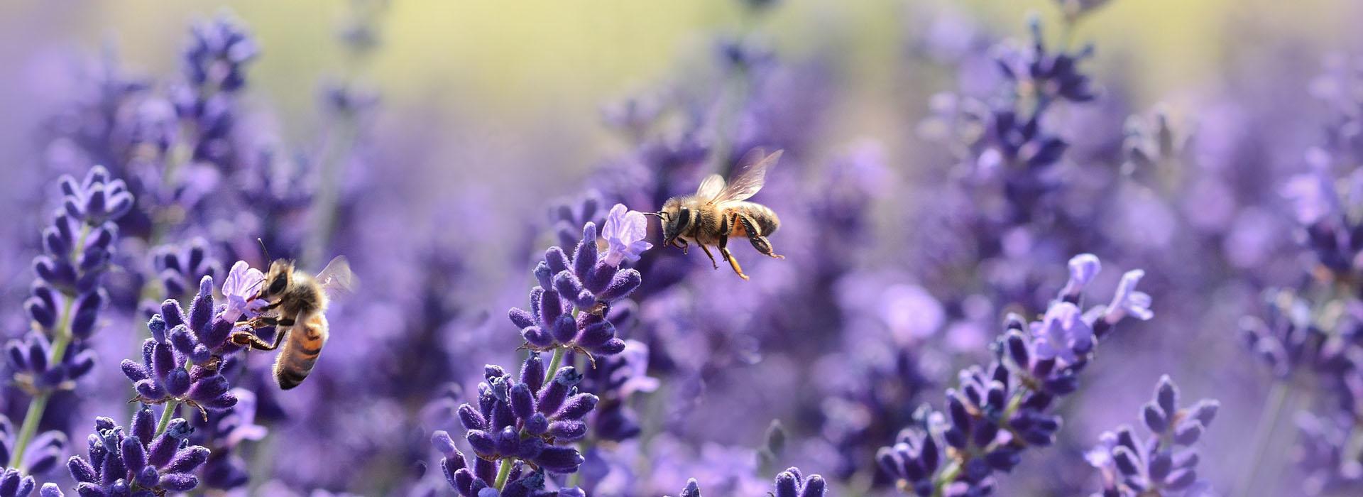 Insektenfreundliche Pflanzen im Juni
